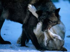 gray-wolves-playing-minnesota-sartore_41130_990x742