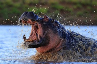 Great action image of a charging Hippopotamus by Chad Cocking!