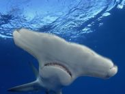 great-hammerhead-shark_Bahamas