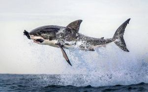 Great White Shark - Photograph taken by Dana Allen - PhotoSafari n False Bay, off Cape Town in South Africa!