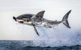 Great White Shark - Photograph taken by Dana Allen - PhotoSafari n False Bay, off Cape Town in South Africa!