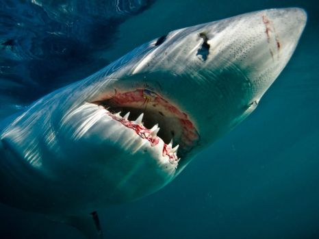 great-white-shark-underwater_28388_990x742