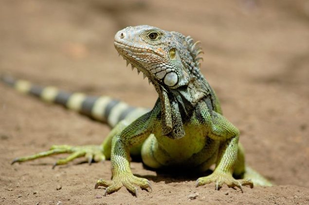 Green Iguana - Photo © Shutterstock Images LLC — with Wendy Vandover
