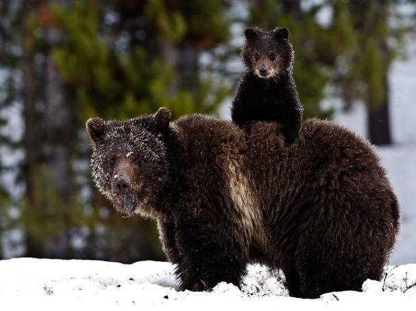 grizzly-bear-cub-snow_36882_990x742