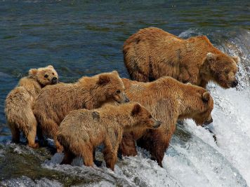 grizzly-bear-family-fishing_22658_990x742