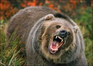 Grizzly Bear (Ursus arctos) in Threat Posture, Rocky Mountains