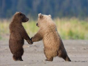 Grizzly cubs by Kelly Okavango