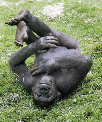 Happy gorilla playing in the grass.