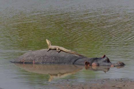 Hippo-backed croc