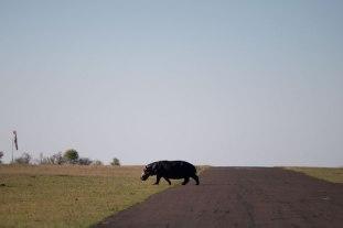 Hippo-crossing-airstrip - 30Sept12 Londolozi