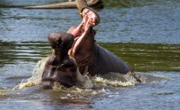 hippo-fight-1-of-10