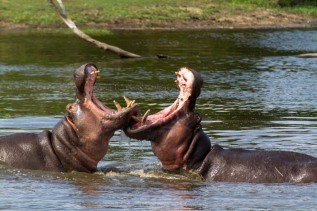 hippo-fight-3-of-10