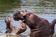 hippo-fight-5-of-10