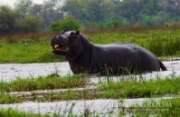 Hippo-Okavango-IMGP6312 (1)