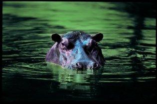 hippo Singita