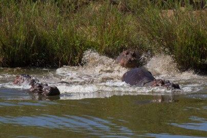 Hippo_Dive