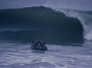 hippopatamus-surfing_Gabon