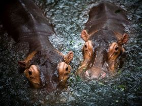 hippopotamuses-water_12094_990x742