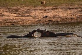Hippos-playing 5Oct12 Londolozi