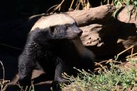 Honey badger at Moholoholo Wildlife Rehabilitation Centre, Limpopo Province, South Africa — with William Roman Sena.