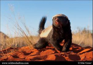 Honey Badger - Wim Vorster