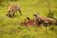 Hyena and Vultures on wildebeest ribcage