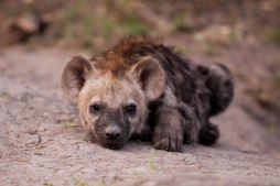 Hyena-cub1 at Maripsi -- 30Sept12 Londolozi