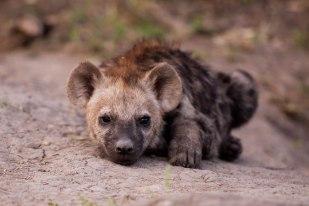 Hyena-cub1 at Maripsi -- 30Sept12 Londolozi