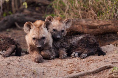 Hyena-cubs at Maripsi -- 30Sept12 Londolozi
