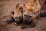 Hyena-cubs at Maripsi den - 5Oct12 Londolozi