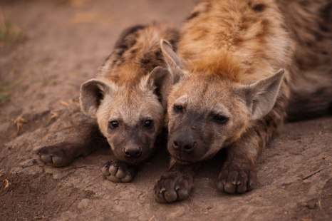 Hyena-cubs at Maripsi den - 5Oct12 Londolozi
