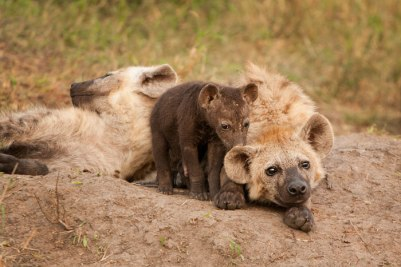 Hyena cubs at the den