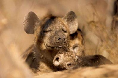 hyena-cubs Singita