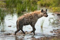Hyena in the river