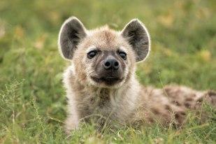 hyena-pup Singita