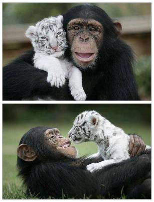 In 2008, a chimpanzee named Anjana adopted and raised two baby white tigers named Mitra and Shiva.