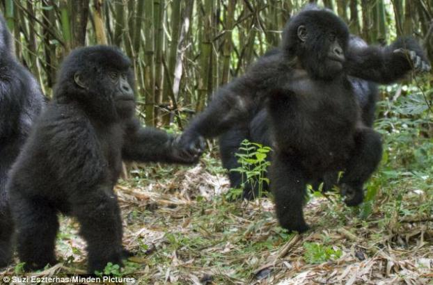 Infant Mountain gorilla twins Isango and Isangano explore in the Virunga Mountains.