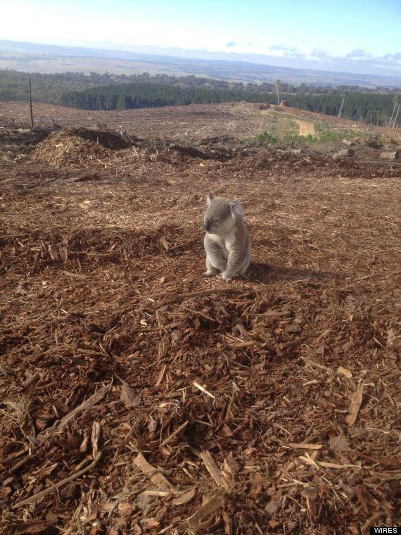 Inspecting his decimated home range after loggers