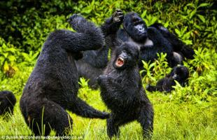 Juvenile Mountain gorillas have a water fight while the rest of the family rests up