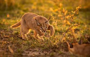 Ken Dyball keeps blowing us away with these amazing photos of the rare small felines of Africa. This is a caracal from East Africa.