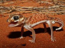 knob-tailed-gecko_57274_990x742