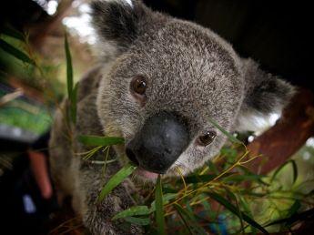 koala-bear-australia_36886_990x742