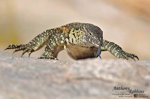 Low angle Water Monitor by Anthony Robbins.