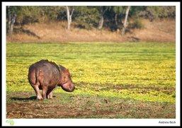 Luangwa Hippo
