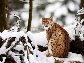lynx-snowy-forest_31786_990x742