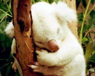 Meet Onya-Birri ( ghost boy in the Aborigine language), a rare albino koala born in 1997.