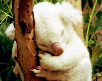 Meet Onya-Birri ( ghost boy in the Aborigine language), a rare albino koala born in 1997.