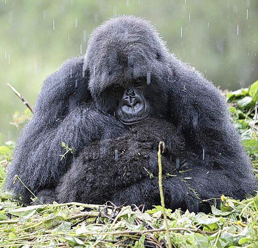 Mountain gorilla mother shelters her infant during a rainstorm.