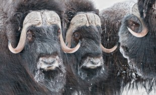 Muskoxen on Wrangle Is. by Sergey Gorshkov