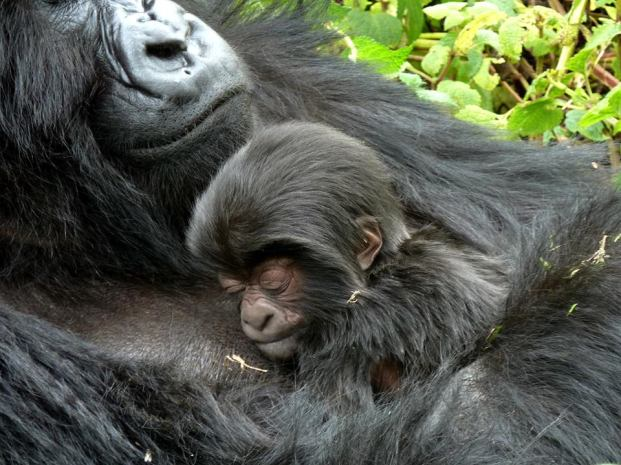 Newborn Gorilla named Agasore (Little Man) born in Rwanda on June 18 2013